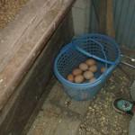 放し飼いされた健康な鶏たち