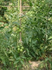 無農薬の有機栽培野菜